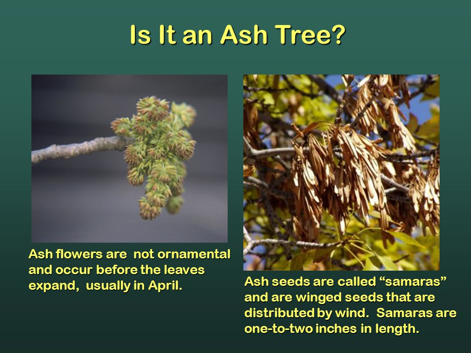 Is It an Ash Tree.