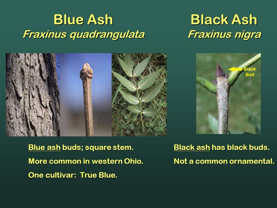 Blue Ash Fraxinus quadrangulata Blue ash buds; square stem. More common in western Ohio. One cultivar: True Blue. Black ash has black buds. Not a comm