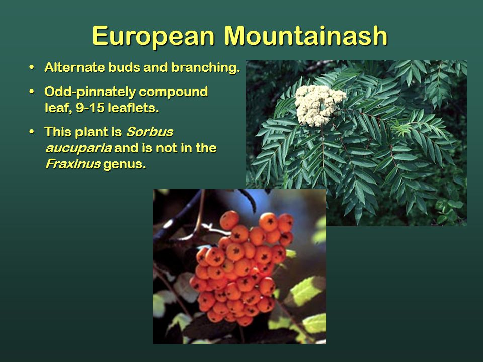 European Mountainash Alternate buds and branching.