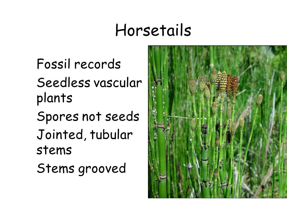 Horsetails Fossil records Seedless vascular plants Spores not seeds Jointed, tubular stems Stems grooved