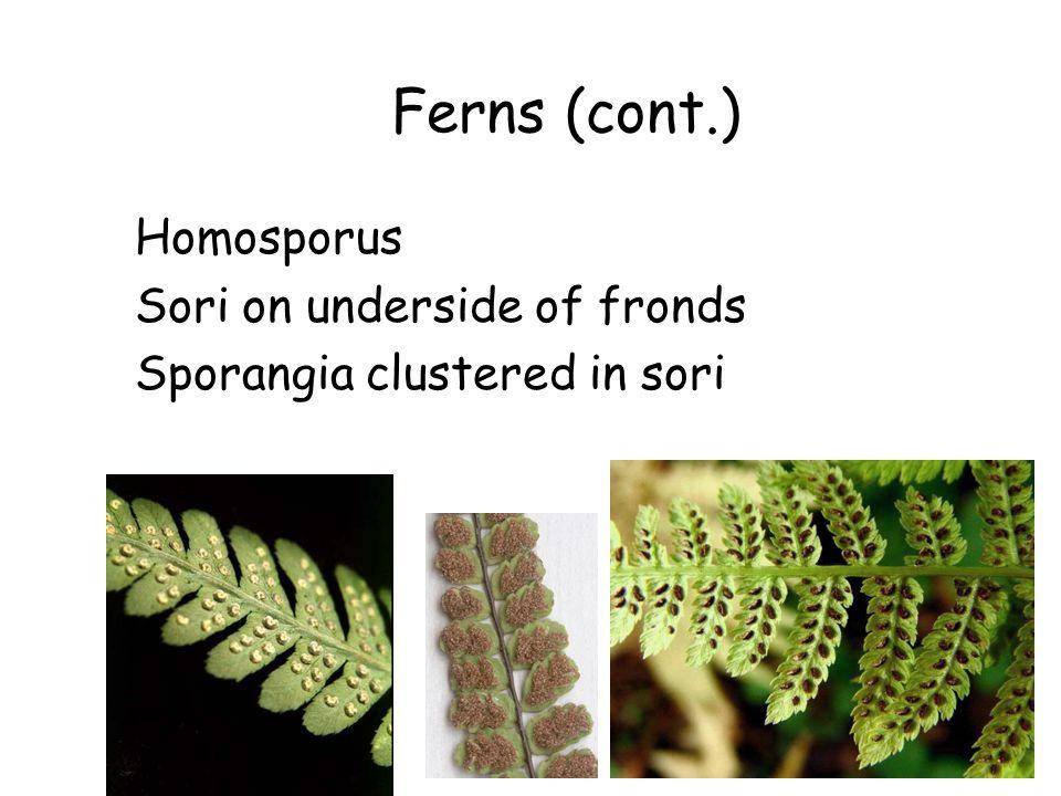 Ferns (cont.) Homosporus Sori on underside of fronds Sporangia clustered in sori