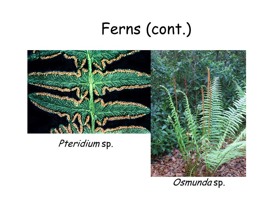 Ferns (cont.) Osmunda sp. Pteridium sp.