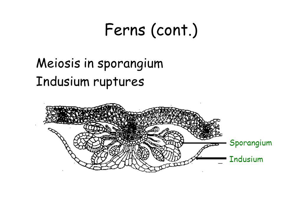 Ferns (cont.) Meiosis in sporangium Indusium ruptures Sporangium Indusium