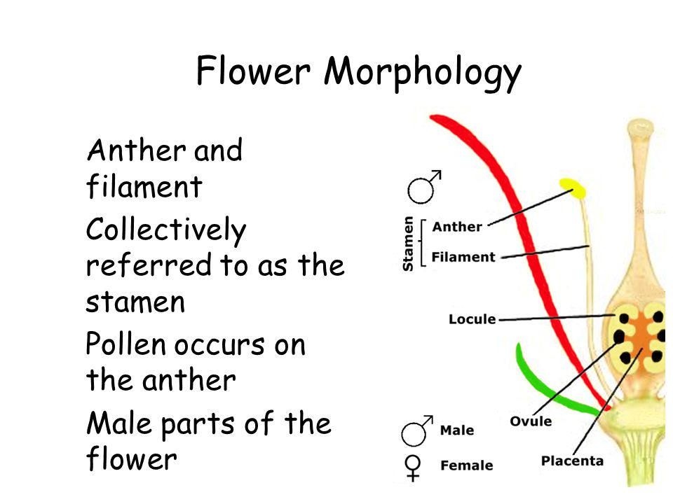 Flower Morphology Anther and filament Collectively referred to as the stamen Pollen occurs on the anther Male parts of the flower