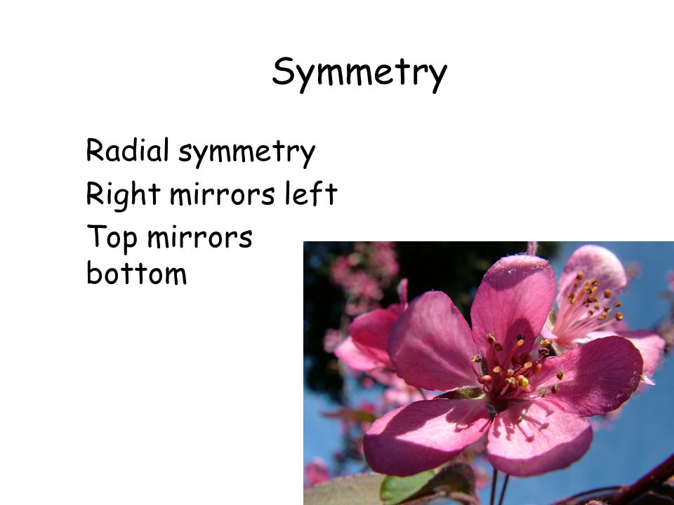 Symmetry Radial symmetry Right mirrors left Top mirrors bottom Malus sp. Crabapple