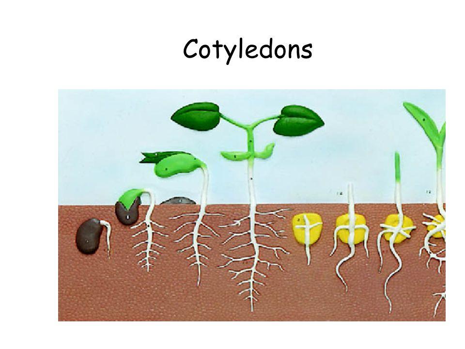Cotyledons