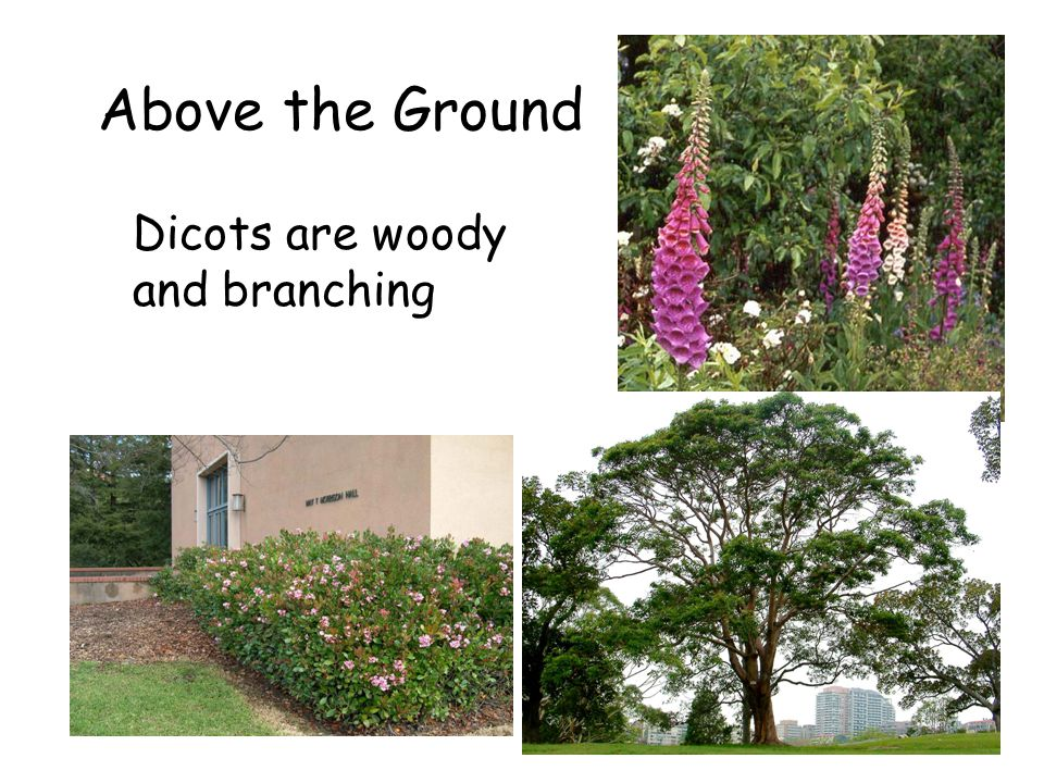 Above the Ground Dicots are woody and branching