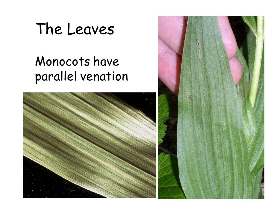 The Leaves Monocots have parallel venation