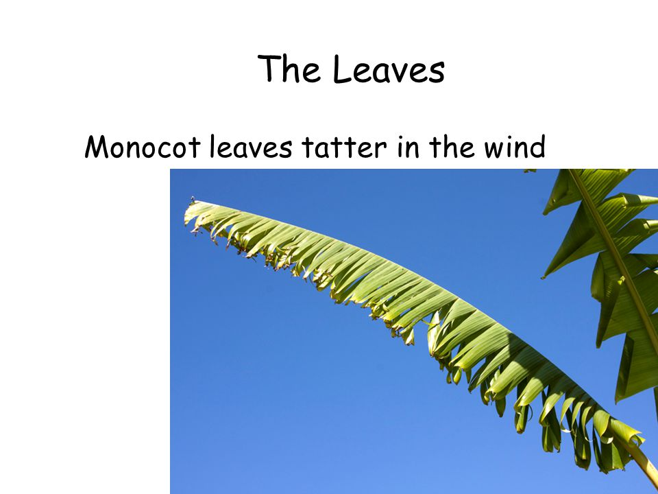 The Leaves Monocot leaves tatter in the wind