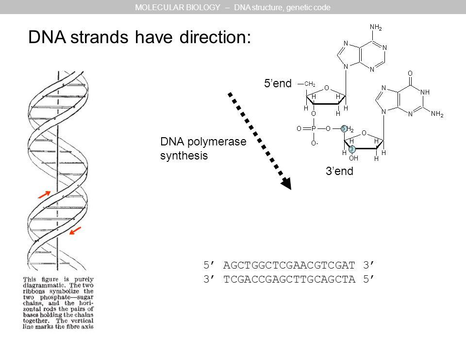 5'end 3'end H CH 2 3 5 DNA strands have direction: DNA polymerase synthesis 5' AGCTGGCTCGAACGTCGAT 3' 3' TCGACCGAGCTTGCAGCTA 5' MOLECULAR BIOLOGY – DN