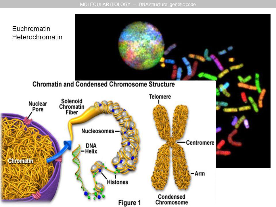 Euchromatin Heterochromatin MOLECULAR BIOLOGY – DNA structure, genetic code