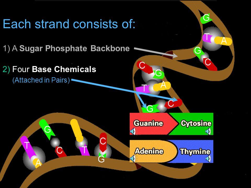 Each strand consists of: 1) A Sugar Phosphate Backbone