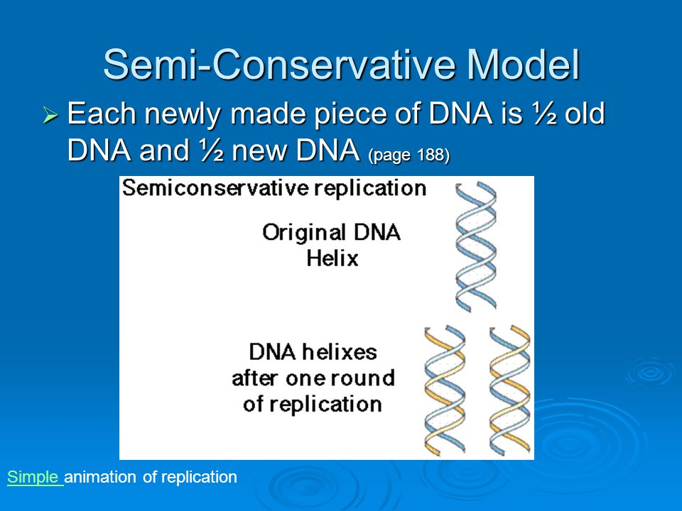 Semi-Conservative Model  Each newly made piece of DNA is ½ old DNA and ½ new DNA (page 188) Simple Simple animation of replication