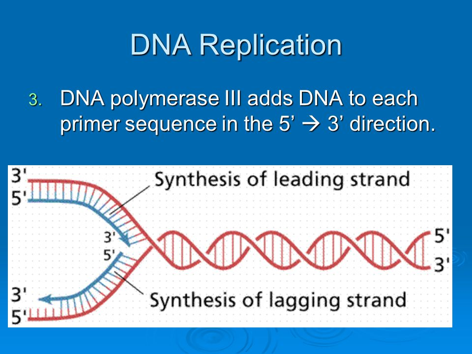 DNA Replication 3. DNA polymerase III adds DNA to each primer sequence in the 5'  3' direction.