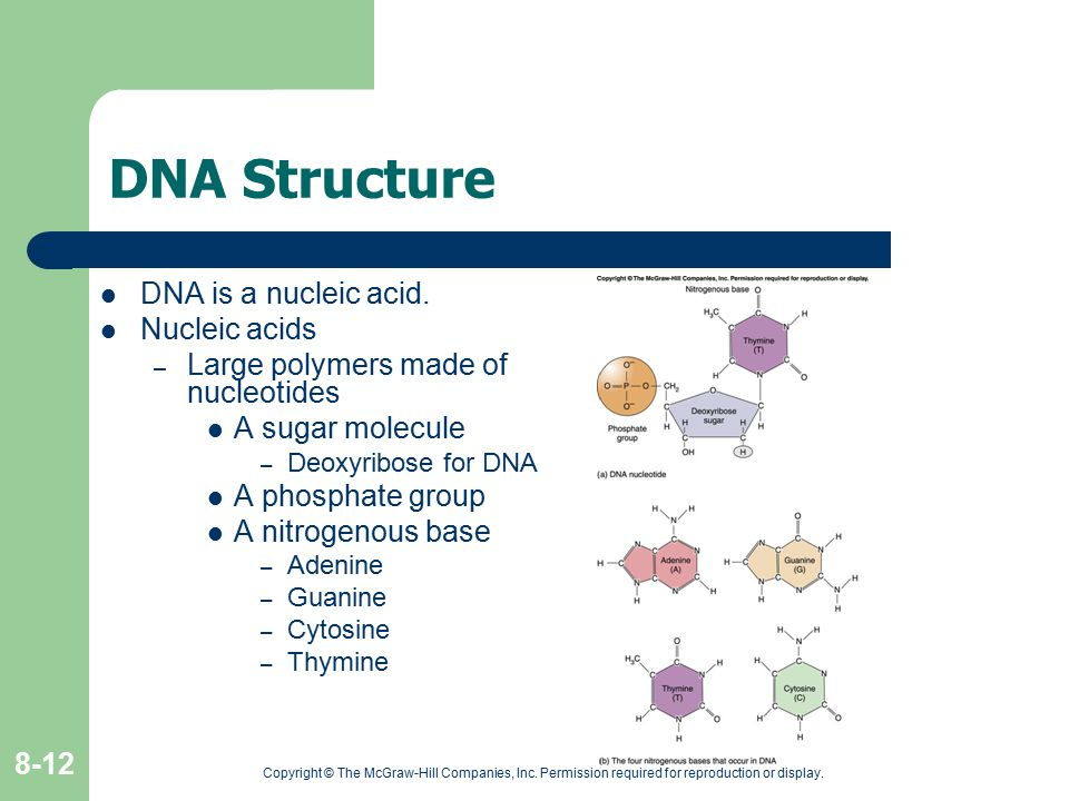 Copyright © The McGraw-Hill Companies, Inc. Permission required for reproduction or display. 8-12 DNA Structure DNA is a nucleic acid. Nucleic acids –