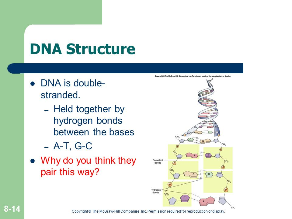 Copyright © The McGraw-Hill Companies, Inc. Permission required for reproduction or display. 8-14 DNA Structure DNA is double- stranded. – Held togeth