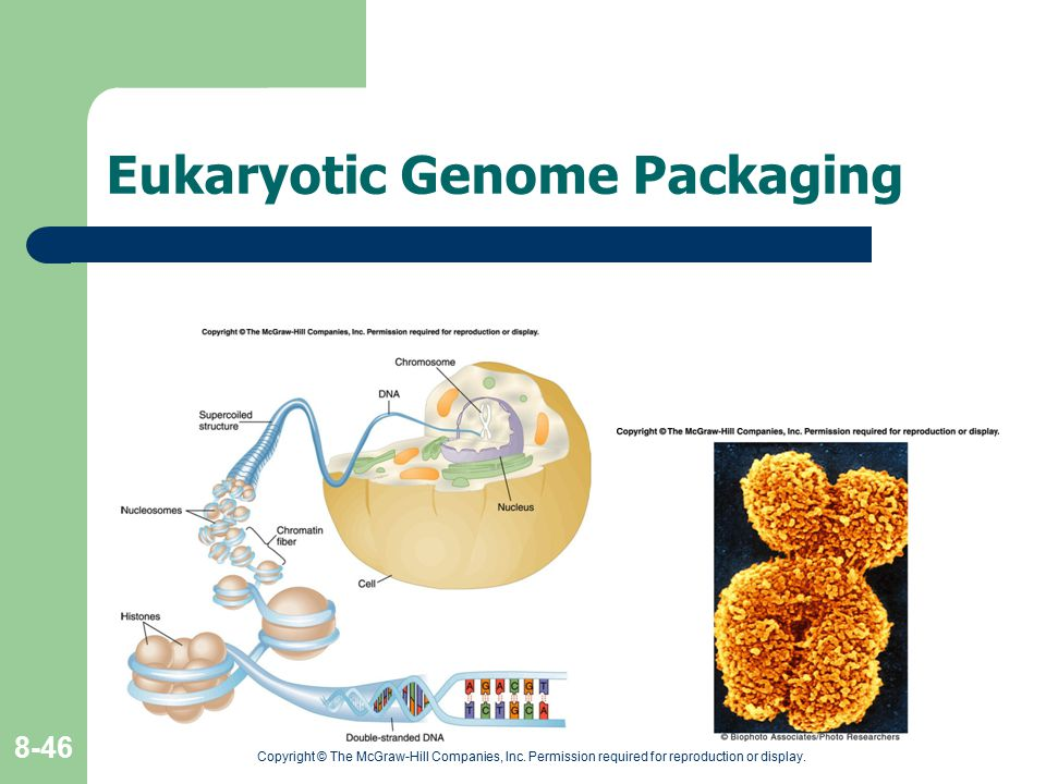 Copyright © The McGraw-Hill Companies, Inc. Permission required for reproduction or display. 8-46 Eukaryotic Genome Packaging