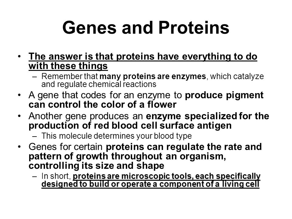 Genes and Proteins The answer is that proteins have everything to do with these things –Remember that many proteins are enzymes, which catalyze and regulate chemical reactions A gene that codes for an enzyme to produce pigment can control the color of a flower Another gene produces an enzyme specialized for the production of red blood cell surface antigen –This molecule determines your blood type Genes for certain proteins can regulate the rate and pattern of growth throughout an organism, controlling its size and shape proteins are microscopic tools, each specifically designed to build or operate a component of a living cell –In short, proteins are microscopic tools, each specifically designed to build or operate a component of a living cell