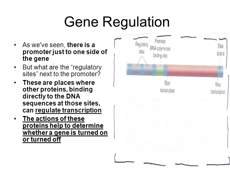 Gene Regulation As we ve seen, there is a promoter just to one side of the gene But what are the regulatory sites next to the promoter.