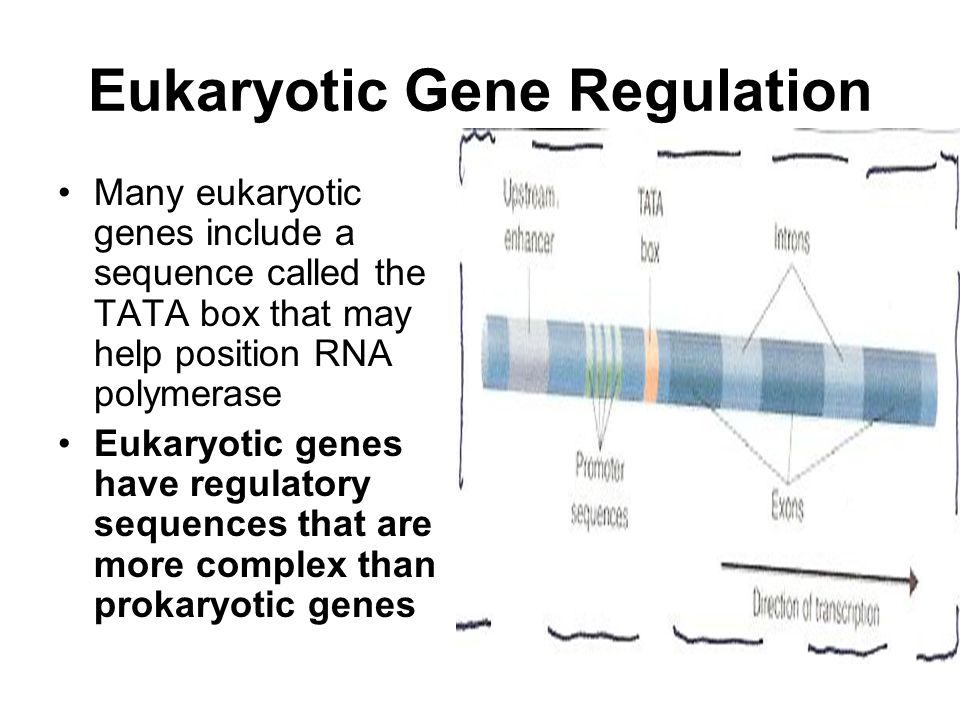 Many eukaryotic genes include a sequence called the TATA box that may help position RNA polymerase Eukaryotic genes have regulatory sequences that are more complex than prokaryotic genes