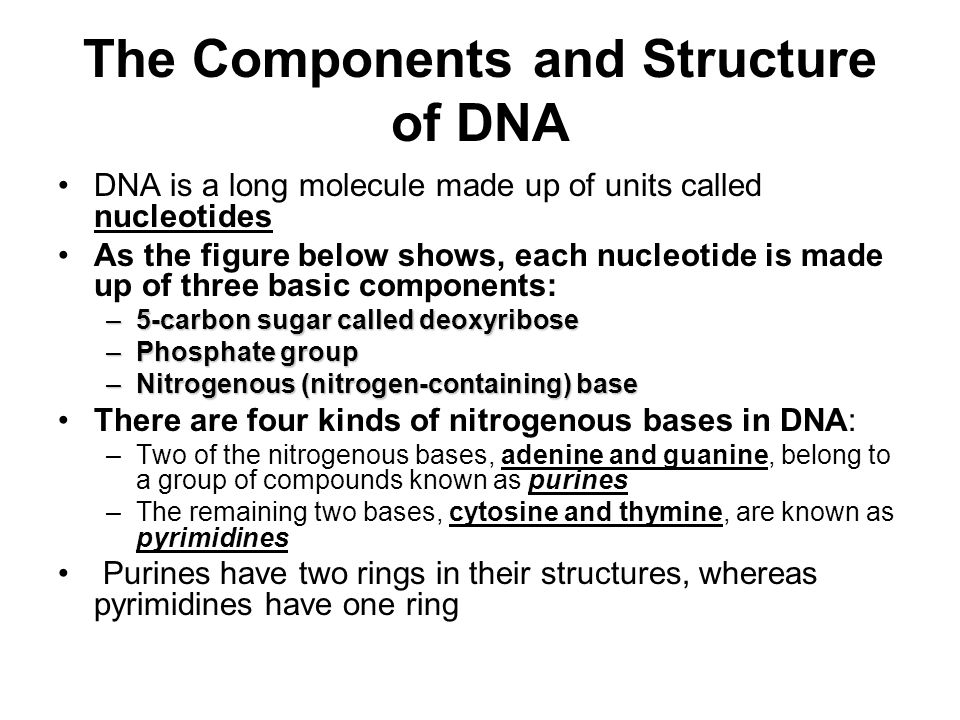 The Components and Structure of DNA DNA is a long molecule made up of units called nucleotides As the figure below shows, each nucleotide is made up of three basic components: –5-carbon sugar called deoxyribose –Phosphate group –Nitrogenous (nitrogen-containing) base There are four kinds of nitrogenous bases in DNA: –Two of the nitrogenous bases, adenine and guanine, belong to a group of compounds known as purines –The remaining two bases, cytosine and thymine, are known as pyrimidines Purines have two rings in their structures, whereas pyrimidines have one ring