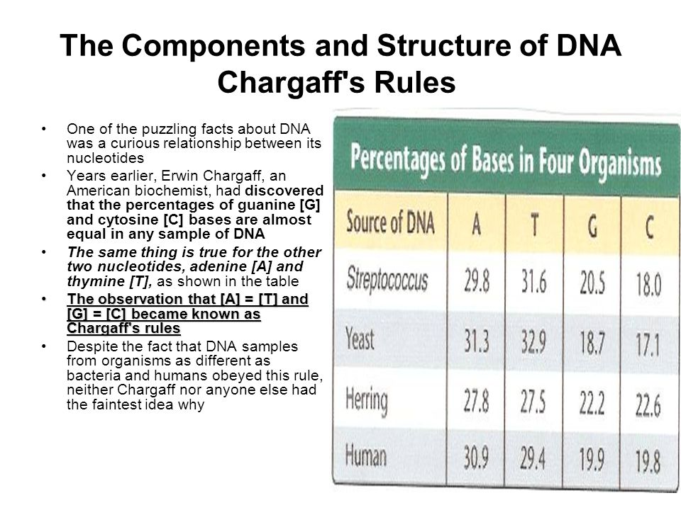 The Components and Structure of DNA Chargaff s Rules One of the puzzling facts about DNA was a curious relationship between its nucleotides Years earlier, Erwin Chargaff, an American biochemist, had discovered that the percentages of guanine [G] and cytosine [C] bases are almost equal in any sample of DNA The same thing is true for the other two nucleotides, adenine [A] and thymine [T], as shown in the table The observation that [A] = [T] and [G] = [C] became known as Chargaff s rulesThe observation that [A] = [T] and [G] = [C] became known as Chargaff s rules Despite the fact that DNA samples from organisms as different as bacteria and humans obeyed this rule, neither Chargaff nor anyone else had the faintest idea why