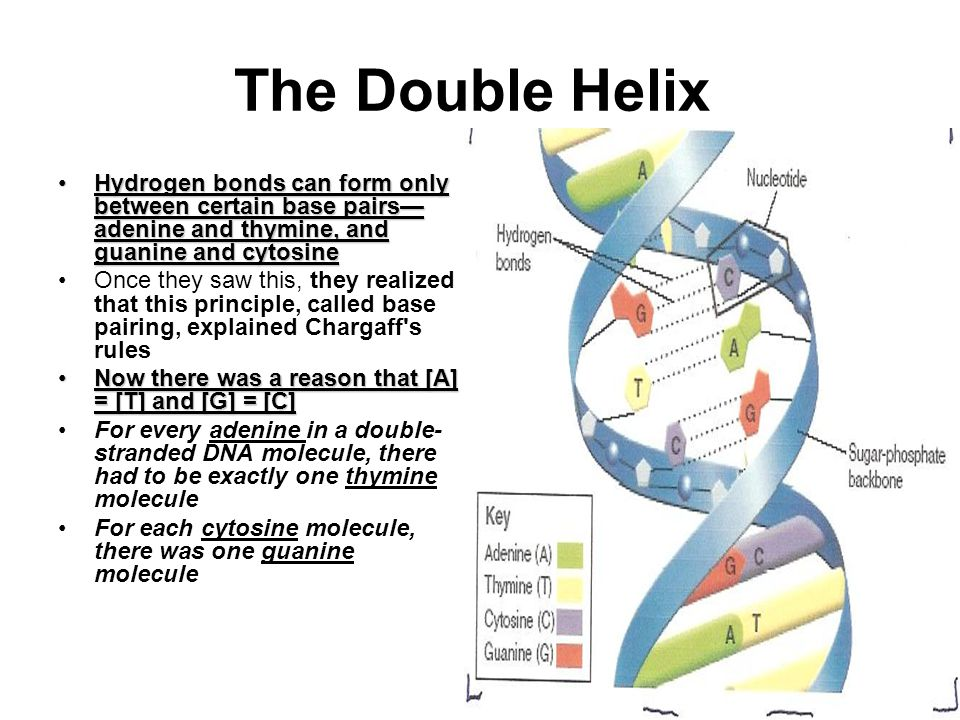 The Double Helix Hydrogen bonds can form only between certain base pairs— adenine and thymine, and guanine and cytosineHydrogen bonds can form only between certain base pairs— adenine and thymine, and guanine and cytosine Once they saw this, they realized that this principle, called base pairing, explained Chargaff s rules Now there was a reason that [A] = [T] and [G] = [C]Now there was a reason that [A] = [T] and [G] = [C] For every adenine in a double- stranded DNA molecule, there had to be exactly one thymine molecule For each cytosine molecule, there was one guanine molecule