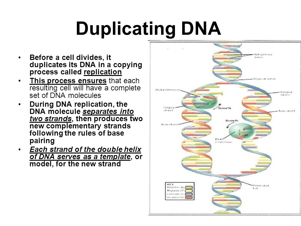 Duplicating DNA Before a cell divides, it duplicates its DNA in a copying process called replication This process ensures that each resulting cell will have a complete set of DNA molecules During DNA replication, the DNA molecule separates into two strands, then produces two new complementary strands following the rules of base pairing Each strand of the double helix of DNA serves as a template, or model, for the new strand