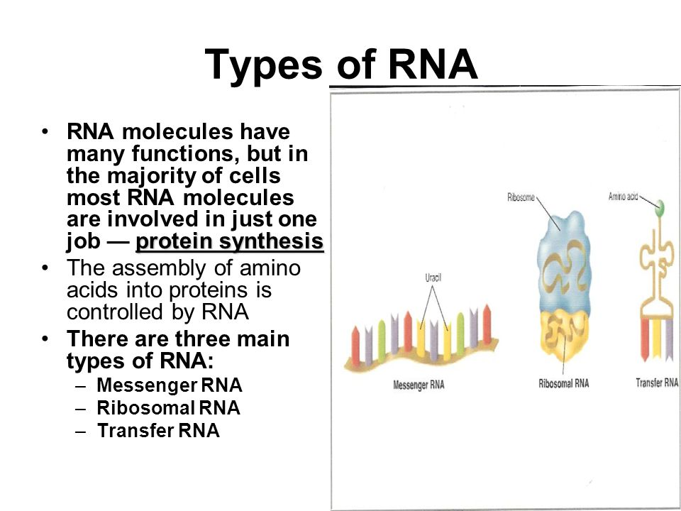 Types of RNA protein synthesisRNA molecules have many functions, but in the majority of cells most RNA molecules are involved in just one job — protein synthesis The assembly of amino acids into proteins is controlled by RNA There are three main types of RNA: –Messenger RNA –Ribosomal RNA –Transfer RNA