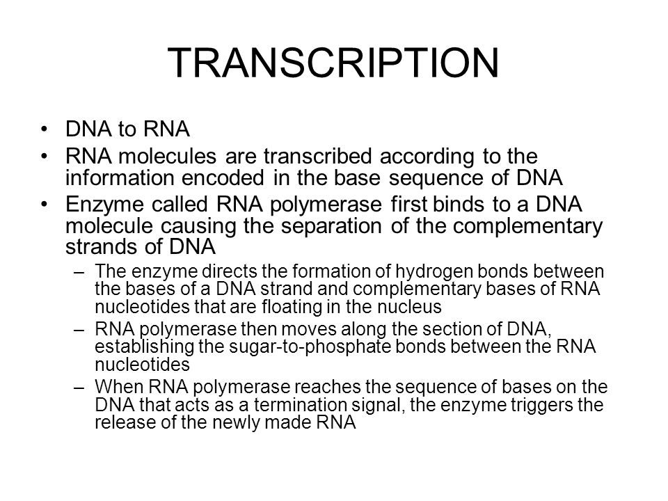TRANSCRIPTION DNA to RNA RNA molecules are transcribed according to the information encoded in the base sequence of DNA Enzyme called RNA polymerase first binds to a DNA molecule causing the separation of the complementary strands of DNA –The enzyme directs the formation of hydrogen bonds between the bases of a DNA strand and complementary bases of RNA nucleotides that are floating in the nucleus –RNA polymerase then moves along the section of DNA, establishing the sugar-to-phosphate bonds between the RNA nucleotides –When RNA polymerase reaches the sequence of bases on the DNA that acts as a termination signal, the enzyme triggers the release of the newly made RNA