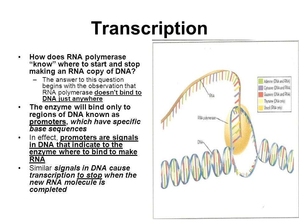 How does RNA polymerase know where to start and stop making an RNA copy of DNA.