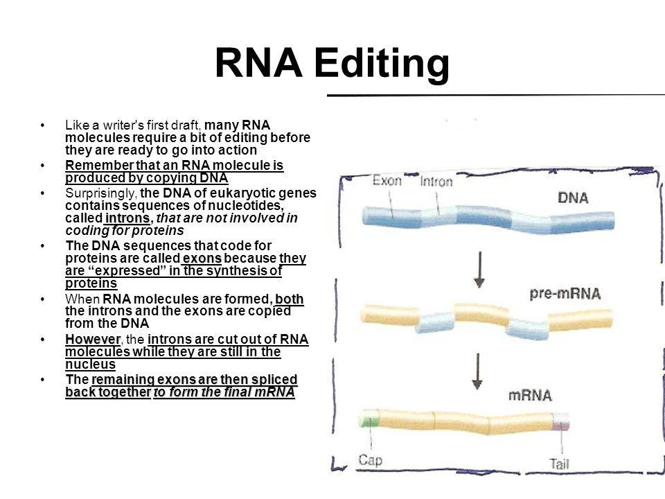 RNA Editing Like a writer s first draft, many RNA molecules require a bit of editing before they are ready to go into action Remember that an RNA molecule is produced by copying DNA intronsSurprisingly, the DNA of eukaryotic genes contains sequences of nucleotides, called introns, that are not involved in coding for proteins exonsThe DNA sequences that code for proteins are called exons because they are expressed in the synthesis of proteins bothWhen RNA molecules are formed, both the introns and the exons are copied from the DNA HoweverHowever, the introns are cut out of RNA molecules while they are still in the nucleus remaining exons are then spliced back togetherto form the final mRNAThe remaining exons are then spliced back together to form the final mRNA
