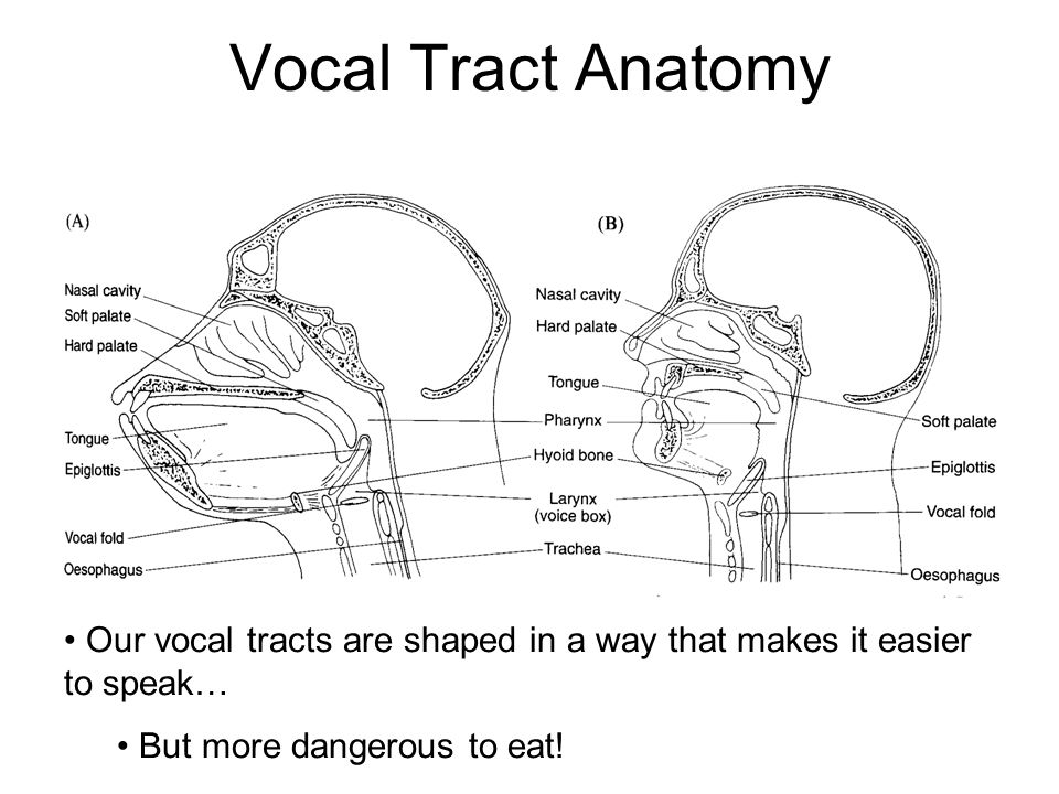 Vocal Tract Anatomy Our vocal tracts are shaped in a way that makes it easier to speak… But more dangerous to eat!