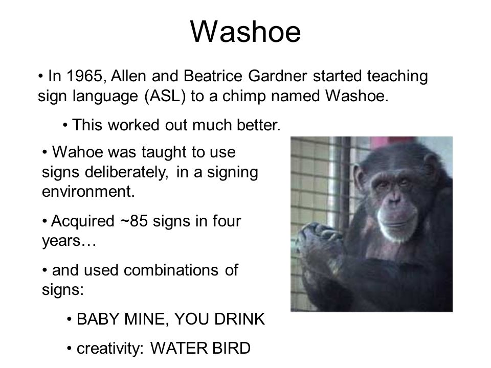 Washoe In 1965, Allen and Beatrice Gardner started teaching sign language (ASL) to a chimp named Washoe. This worked out much better. Wahoe was taught