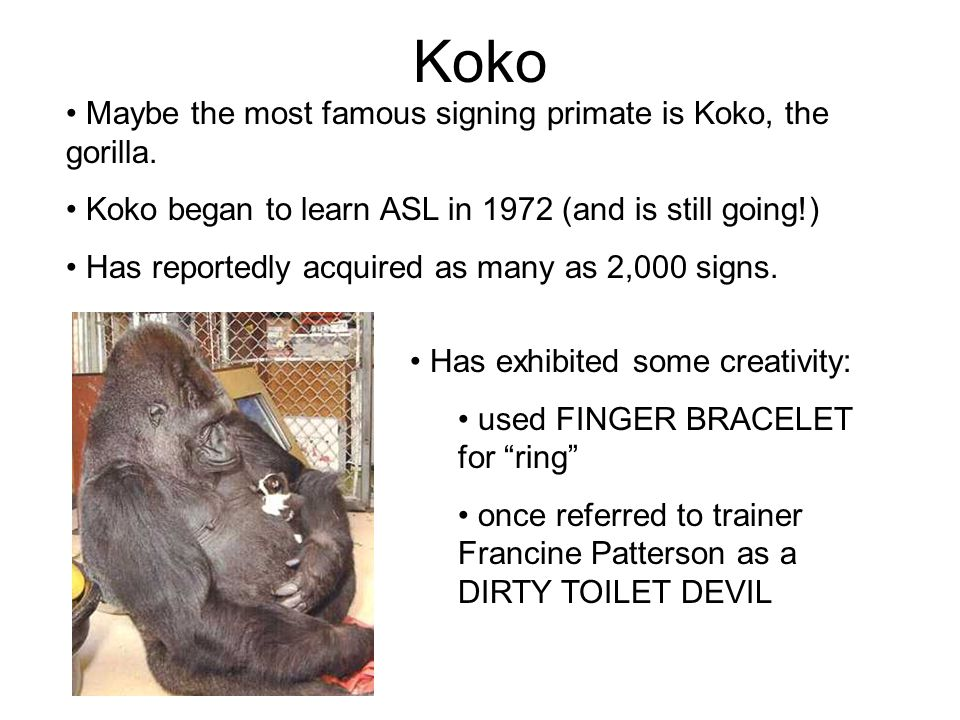 Koko Maybe the most famous signing primate is Koko, the gorilla. Koko began to learn ASL in 1972 (and is still going!) Has reportedly acquired as many