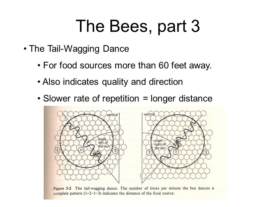 The Bees, part 3 The Tail-Wagging Dance For food sources more than 60 feet away. Also indicates quality and direction Slower rate of repetition = long