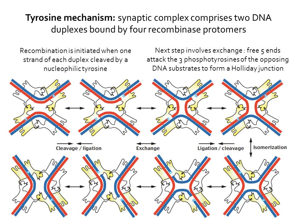 Next step involves exchange : free 5 ends attack the 3 phosphotyrosines of the opposing DNA substrates to form a Holliday junction Recombination is initiated when one strand of each duplex cleaved by a nucleophilic tyrosine Tyrosine mechanism: synaptic complex comprises two DNA duplexes bound by four recombinase protomers