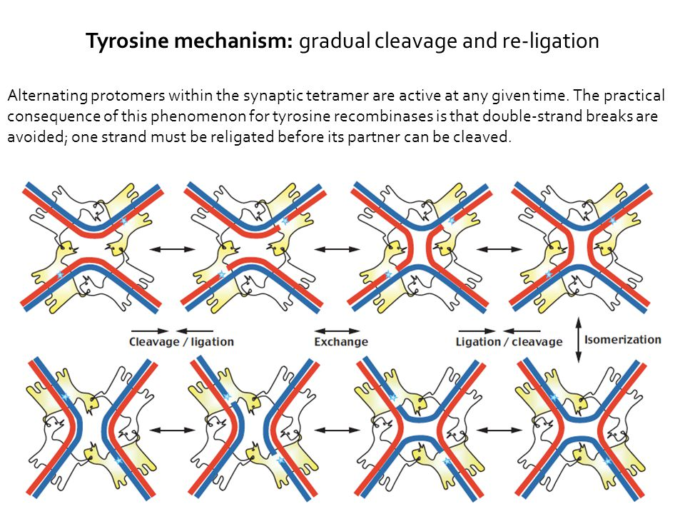 Alternating protomers within the synaptic tetramer are active at any given time.