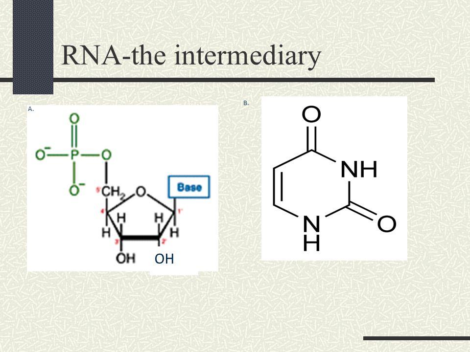 RNA-the intermediary A. OH B.