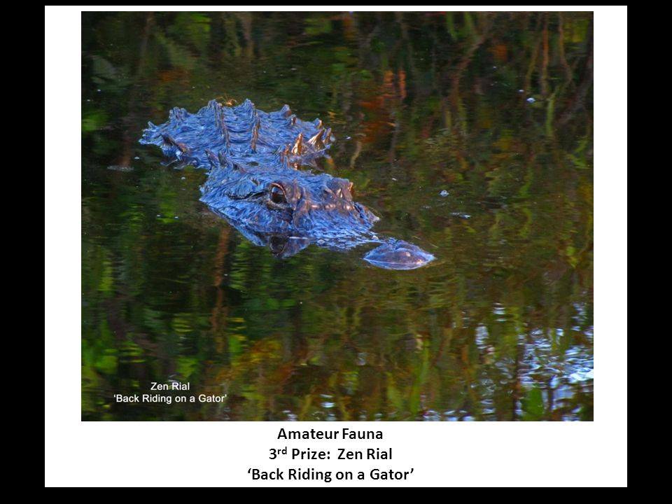 Amateur Fauna 3 rd Prize: Zen Rial 'Back Riding on a Gator'