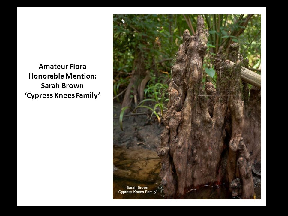 Amateur Flora Honorable Mention: Sarah Brown 'Cypress Knees Family'