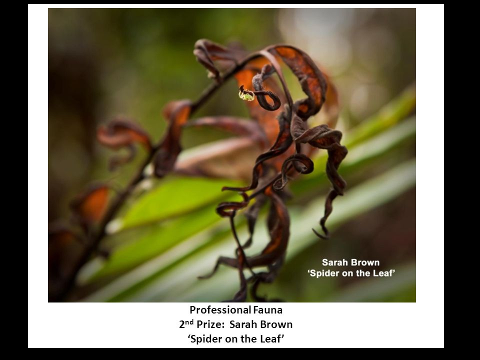 Professional Fauna 2 nd Prize: Sarah Brown 'Spider on the Leaf'