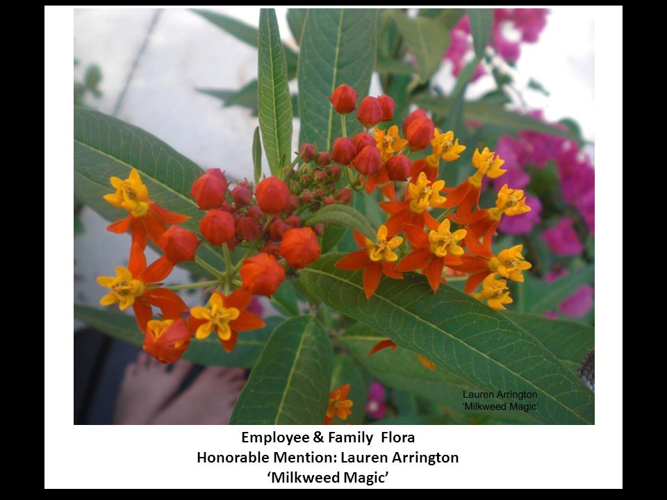 Employee & Family Flora Honorable Mention: Lauren Arrington 'Milkweed Magic'
