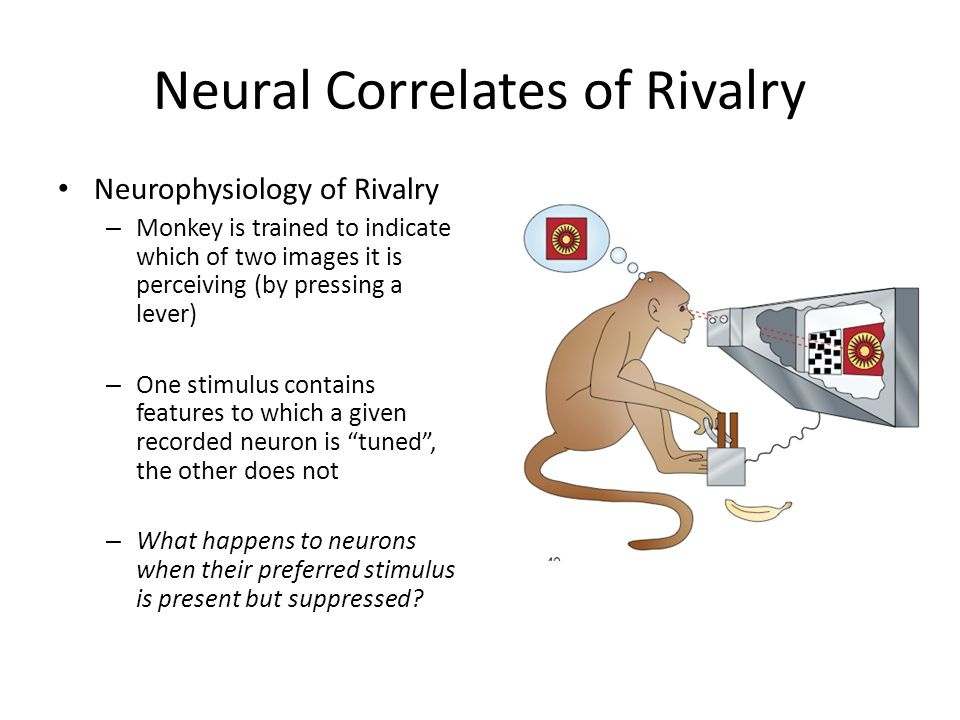 Neural Correlates of Rivalry Neurophysiology of Rivalry – Monkey is trained to indicate which of two images it is perceiving (by pressing a lever) – One stimulus contains features to which a given recorded neuron is tuned , the other does not – What happens to neurons when their preferred stimulus is present but suppressed