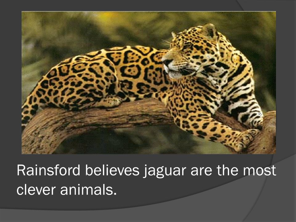 Rainsford believes jaguar are the most clever animals.