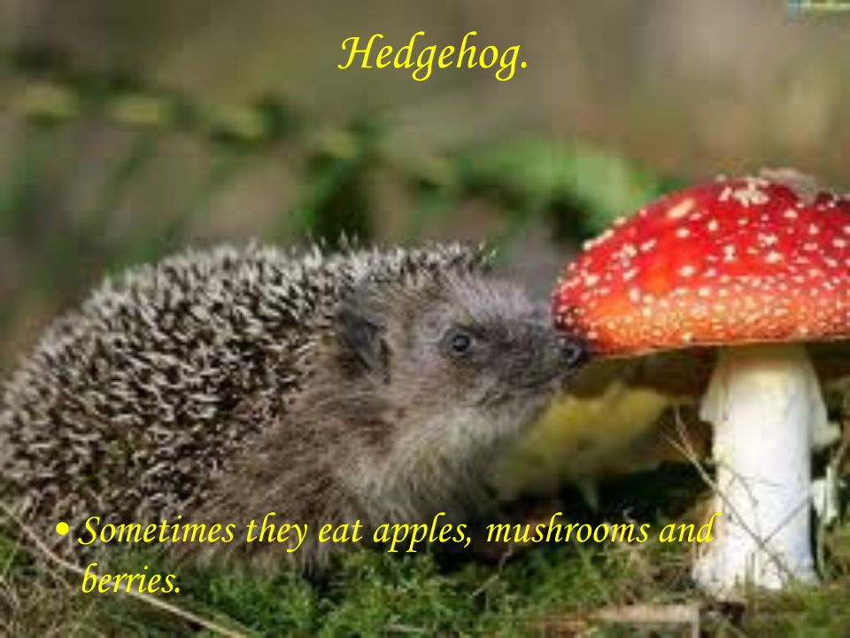 Hedgehog. Sometimes they eat apples, mushrooms and berries.