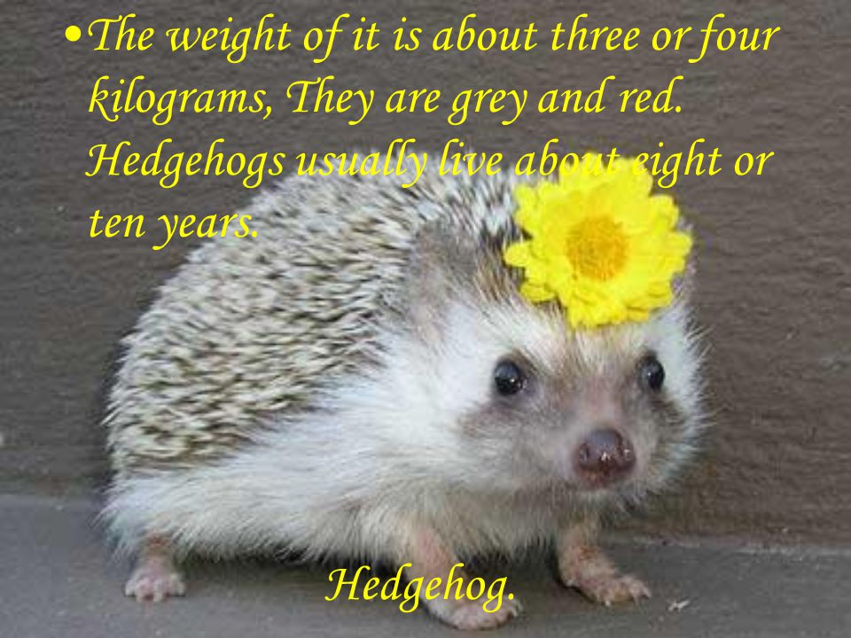 Hedgehog. The weight of it is about three or four kilograms, They are grey and red.