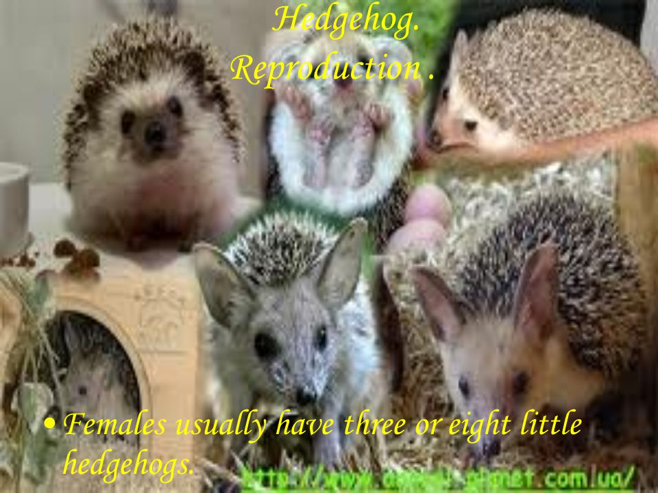 Hedgehog. Females usually have three or eight little hedgehogs. Reproduction.