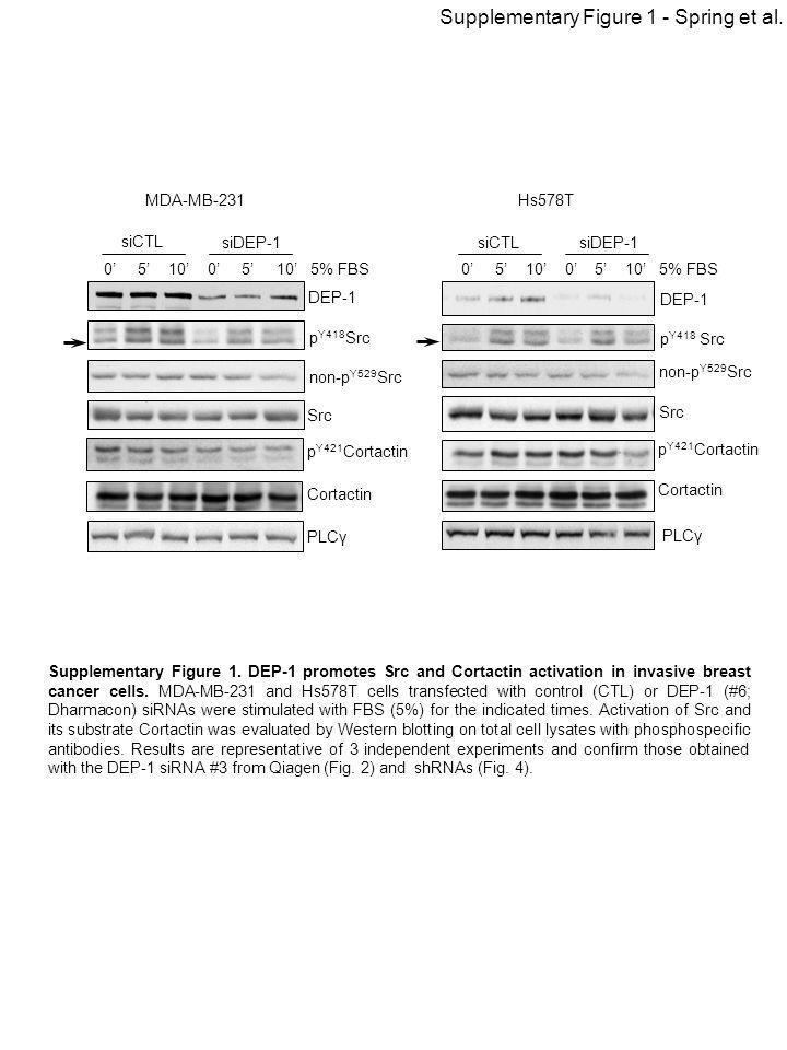 DEP-1 p Y418 Src non-p Y529 Src Src p Y421 Cortactin Cortactin PLCγ Hs578T 0' 5' 10' 0' 5' 10' 5% FBS siCTLsiDEP-1 MDA-MB-231 0' 5' 10' 0' 5' 10' 5% F