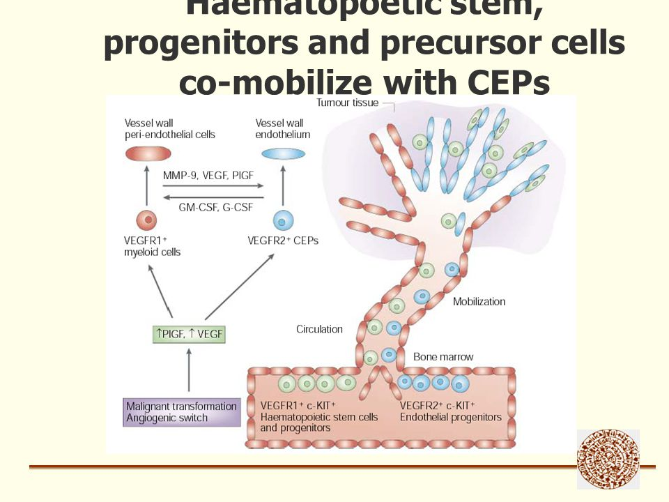 Haematopoetic stem, progenitors and precursor cells co-mobilize with CEPs